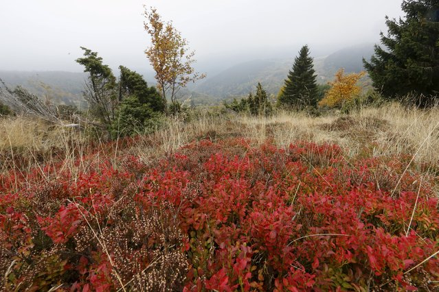 Blueberries leaves are pictured as autumn colours mark a change in season in the Vosges mountains in the Alsace region, Eastern France, October 11, 2015. (Photo by Jacky Naegelen/Reuters)