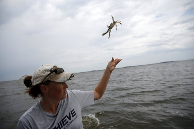 Researcher Keira Heggie from the Smithsonian Environmental Research Center (SERC) releases a crab back into the water after tagging it with a plastic marker as part of a study in the Nanticoke River, a tributary of the Chesapeake Bay, near Tyaskin, Maryland August 25, 2015. SERC offers a reward to people who find a tagged crab. A $5 reward is offered for some of the crabs and others a $50 reward, the difference helping to determine the accuracy of the data. (Photo by Jonathan Ernst/Reuters)