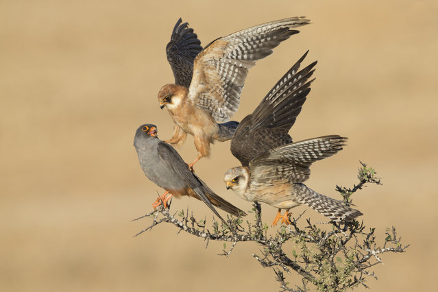 Red-footed falcons are social birds, migrating in large flocks from central and eastern Europe to southern and south-western Africa. Six days watching these three resulted in a picture that reveals a subtle interaction: one female nudged the male with her talon as she flew up to make space on the branch for the other female. Exactly what the relationship was between the three birds remains a mystery. (Photo by Amir Ben-Dov/2015 Wildlife Photographer of the Year)