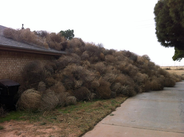 This photo provided by Josh Pitman shows the side of Pitman's home in Midland, Texas obscured by tumbleweeds. Winds in excess of 60 mph that accompanied Monday's blizzard pushed hundreds of tumbleweeds against the Midland home. Pitman says he recently tore down a fence that would have protected his home from the rambling weeds. (Photo by Josh Pitman/AP Photo)
