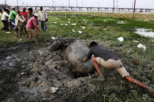 People try to rescue a buffalo which was trapped in mud in Allahabad, India, on April 2, 2013. (Photo by Rajesh Kumar Singh/Associated Press)