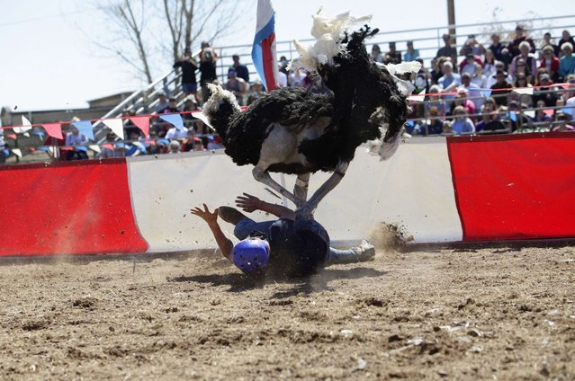 Dustin Murley is run over by his ostrich after falling off during the ostrich race at the annual Ostrich Festival in Chandler, Arizona March 10, 2013. (Photo by Joshua Lott/Reuters)