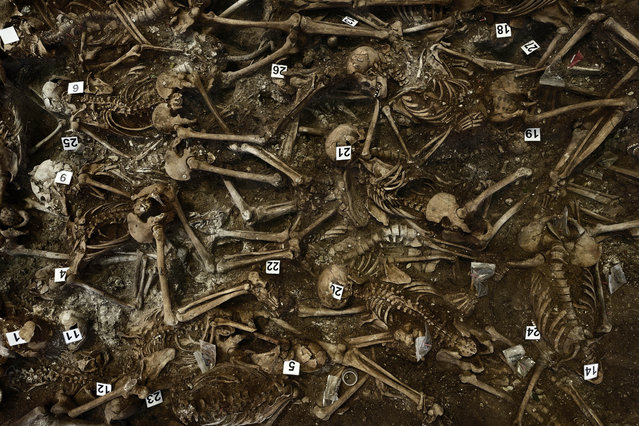 In this photo taken on July 26, 2014, skeletons are numbered on what was a hidden mass grave, during an excavation by the Aranzadi Sciences Society searching for the remains of those killed by their political ideology during and after the Spanish civil war in El Estepar, Spain. (Photo by Daniel Ochoa de Olza/AP Photo)