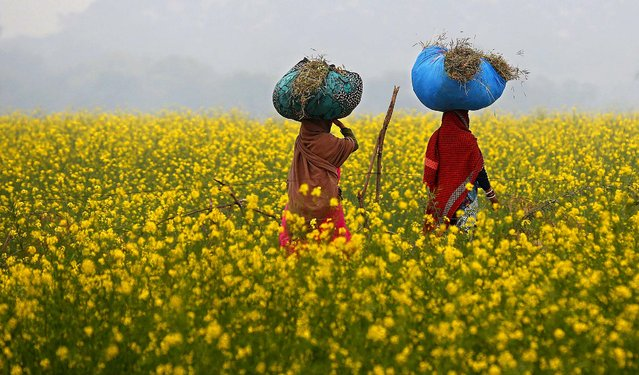 Indian village women carry bundles of grass on their heads as they walk past a mustard field on the outskirts of Hamirpur, in the northern Indian state of Uttar Pradesh, Wednesday, December 31, 2014. Earlier this year, the Indian government allowed field trial of a variety of genetically modified (GM) mustard, almost 18 months after the previous government ordered a freeze on such tests, according to news reports. (Photo by Rajesh Kumar Singh/AP Photo)