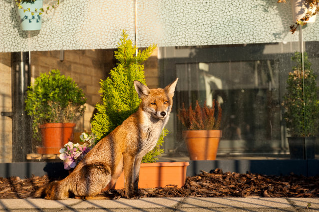 Urban foxes are becoming more brazen during the coronavirus pandemic. This one lives near Asda on Old Kent Road in south London. England on April, 2020. (Photo by Jill Mead/The Guardian)