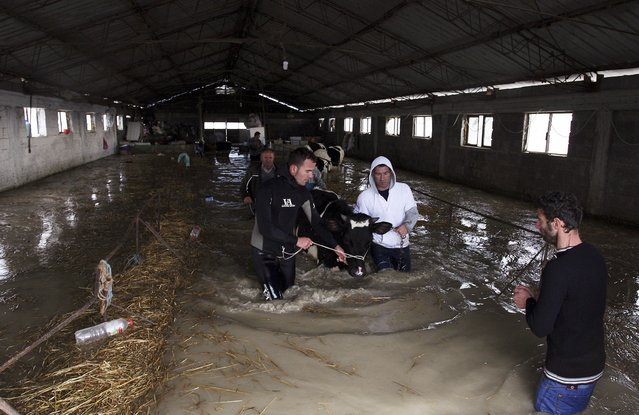 Men lead their cattle out of a flooded barn in the village of Darzez near the city of Fier February 2, 2015. (Photo by Arben Celi/Reuters)