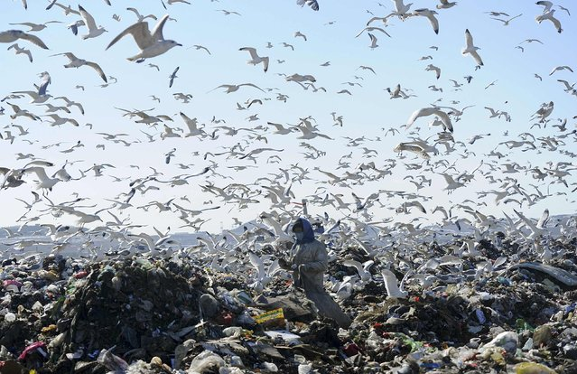 A woman picks up recyclable materials, as seagulls look for food, at a dump site of a garbage disposal plant in Dalian, Liaoning province January 30, 2015. (Photo by Reuters/Stringer)