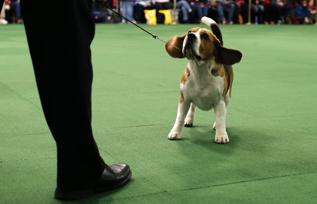 A Beagle looks up at his handler in the ring during judging in the Hound Group at the 139th Westminster Kennel Club's Dog Show in the Manhattan borough of New York February 16, 2015. (Photo by Mike Segar/Reuters)