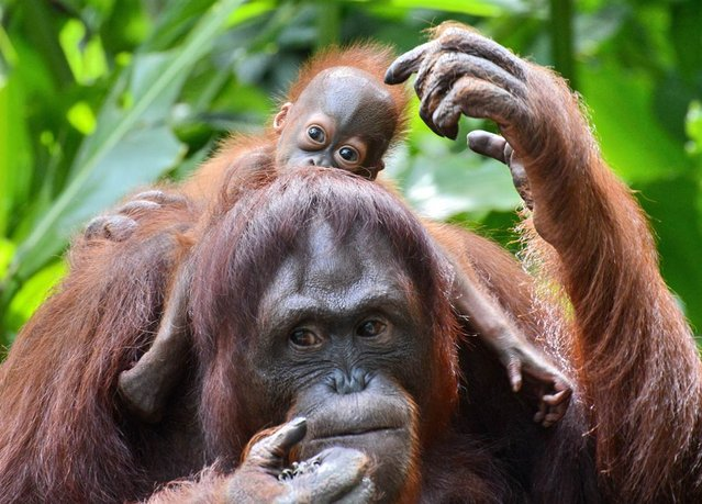 A female Bornean orangutan named Mari is seen with her still to be named son at the Singapore Zoo on March 6, 2013. The baby orangutan was born on January 21 at the Zoo – the 40th orangutan birth to date – which has the largest social colony of endangerd Sumatran and Bornean sub-species orangutan. (Photo by Roslan Rahman/AFP Photo)