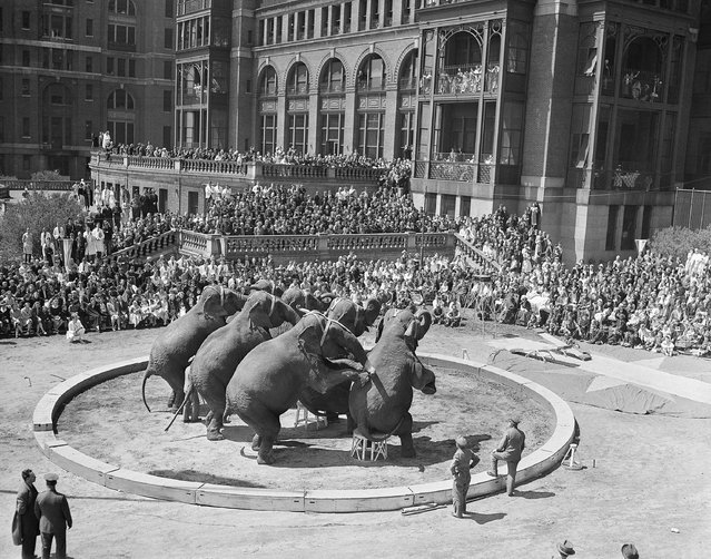 Interest centers on an elephant act, as the Ringling Brothers and Barnum & Bailey Circus gives a 12-act performance outdoors for patients at Bellevue Hospital in New York, April 25, 1941. More than 5,000 persons were in attendance. (Photo by AP Photo)