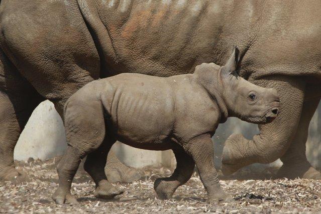 A three week old baby female rhino walks in the Ramat Gan Safari Park near Tel Aviv, Israel, September 17, 2018. The center's spokeswoman Sagit Horowitz said it is the 30th birth of a rhinoceros in the Safari park. (Photo by Ariel Schalit/AP Photo)