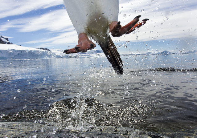 """""""Leaping Penguin, Antarctica"""". A Gentoo Penguin (Pygoscelis papua) caught in midair while leaping from water onto Cuverville Island's rocky shoreline along the Antarctic Peninsula. Though flightless, penguins can still launch themselves through the air to avoid leopard seals that may lie in ambush near their rookeries. Photo location: Cuverville Island, Antarctica. (Photo and caption by Paul Souders/National Geographic Photo Contest)"""