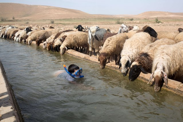 An Israeli boy swims next to sheep belonging to a Palestinian farmer in the West Bank village of Al-Auja in the Jordan Valley on April 8, 2015 during the Jewish Passover holiday. Thousands of Israelis spent the day outdoors, picnicking and touring the country during the eight-day Passover holiday, which commemorates the Israelites' exodus from Egypt some 3,500 years ago. (Photo by Menahem Kahana/AFP Photo)