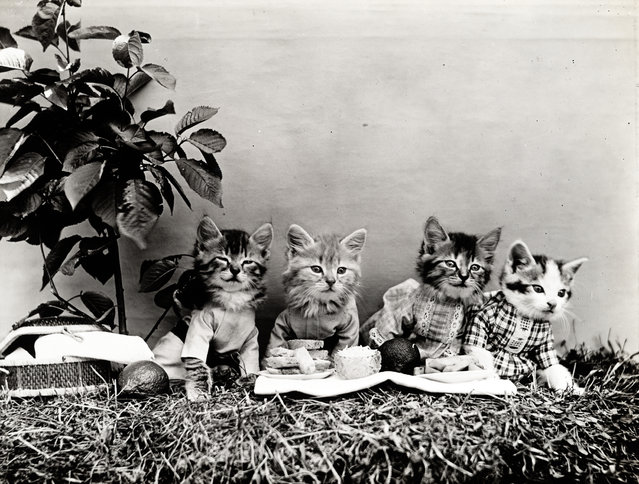 Photograph shows four kittens wearing clothes and dining al fresco, 1914. (Photo by Harry Whittier Frees/Library of Congress)
