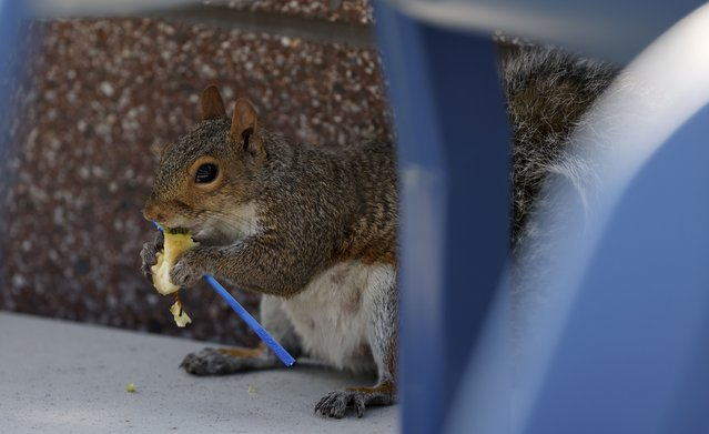 A squirrel eats discarded concession food as Yuichi Sugita of Japan plays Casper Ruud of Norway during their match on the first day of the US Open Tennis Championships the USTA National Tennis Center in Flushing Meadows, New York, USA, 30 August 2021. The US Open runs from 30 August through 12 September. (Photo by Jason Szenes/EPA/EFE)