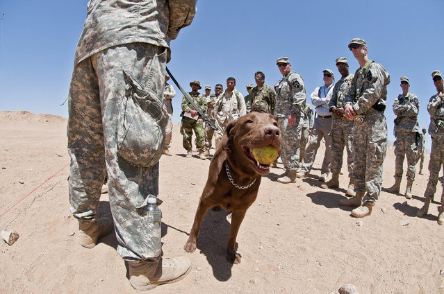 Coba, a 3-year-old chocolate lab and tactical explosives detector dog, chews contently on a tennis ball as David Sheffer, her handler and a dog trainer with Vohne Liche Kennels in Denver, Ind., explains the capabilities of the dog at the National Training Center on Fort Irwin, Calif. (Photo by Sgt. Christopher M. Gaylord/U.S. Army)