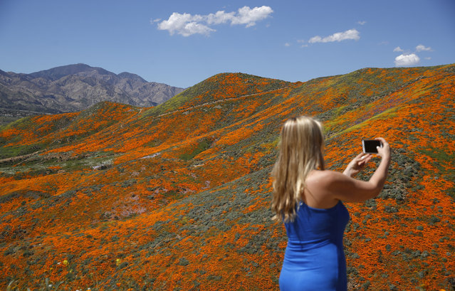 Renee LeGrand, of Foothill Ranch, Calif., takes a picture among wildflowers in bloom Monday, March 18, 2019, in Lake Elsinore, Calif. About 150,000 people flocked over the weekend to see this year's rain-fed flaming orange patches of poppies lighting up the hillsides near Lake Elsinore, a city of about 60,000 residents. The crowds became so bad Sunday that Lake Elsinore officials  closed access to poppy-blanketed Walker Canyon. By Monday the #poppyshutdown announced by the city on Twitter was over and the road to the canyon was re-opened. (Photo by Gregory Bull/AP Photo)
