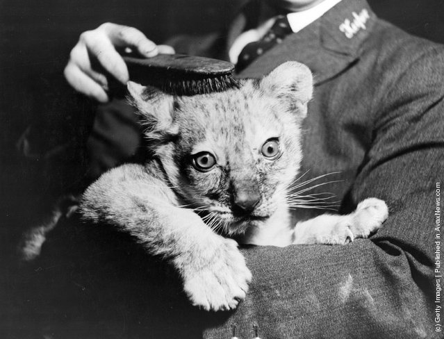 Lion cub who is 10 weeks old gets a brush up from his keeper at London Zoo, 1936
