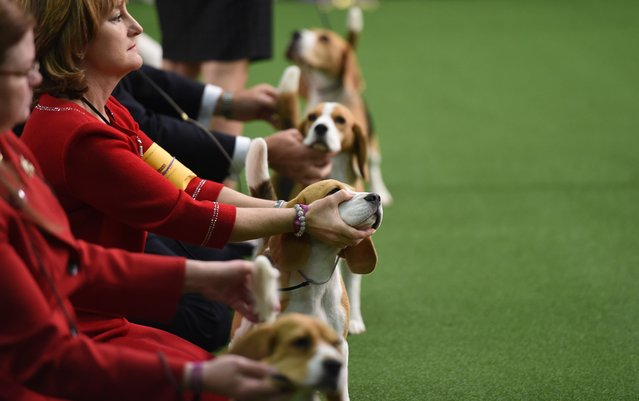 Beagles line up in the Judging area during Day One of competition at the Westminster Kennel Club 141st Annual Dog Show in New York on February 13, 2017. (Photo by Timothy A. Clary/AFP Photo)