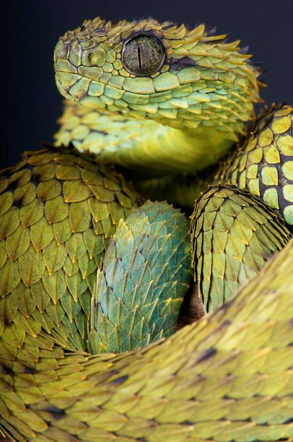 Hairy bush viper (Atheris hispida). (Photo by Matthijs Kuijpers/The Guardian)