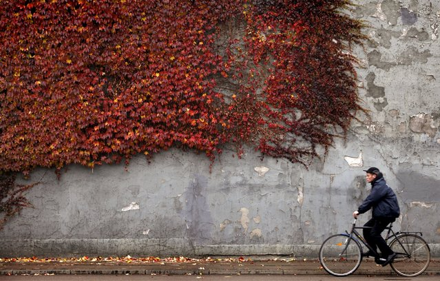 A cyclist rides past autumn-coloured ivy climbing the wall of a building in downtown Copenhagen, Denmark, in this file picture taken November 2, 2010. (Photo by Bob Strong/Reuters)