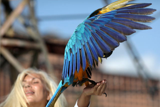 A macaw lands in Carmen Borges' hand while she stays at a rooftop of a building in Caracas, Venezuela, June 12, 2019. (Photo by Manaure Quintero/Reuters)