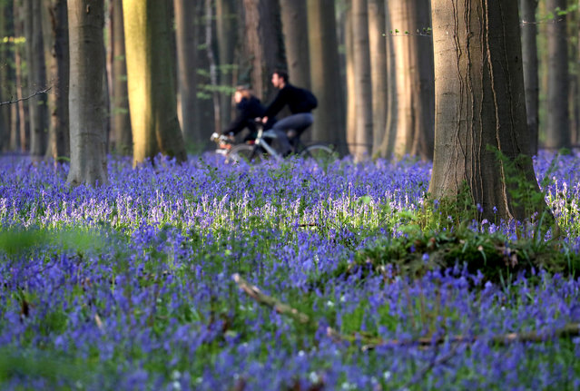 "People ride bikes near wild bluebells, which bloom around mid-April, turning the forest floor blue, forming a carpet in the Hallerbos, also known as the ""Blue Forest"", near Halle, Belgium on April 18, 2019. (Photo by Yves Herman/Reuters)"