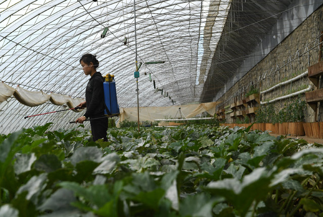A woman sprays fertilizer on vegetables at a greenhouse during a media tour of  Jangchon cooperative farm on the outskirts of  Pyongyang, North Korea on May 4, 2016. The homes had vegetable gardens in the front, solar panels on the roofs but didn't appear to be very populated. (Photo by Linda Davidson/The Washington Post)