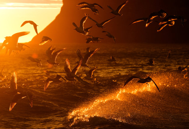 Feeding sea birds are disturbed by waves that break against the shoreline as the sun rises over the North Sea on September 3, 2019 in Saltburn By The Sea, England. Rain is expected in the North and West later in the day. (Photo by Ian Forsyth/Getty Images)