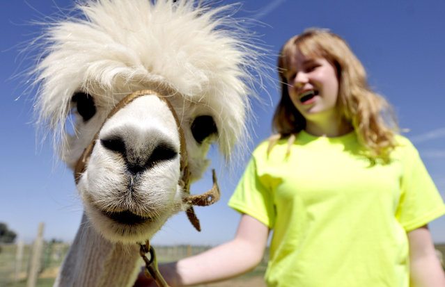 Titanic, one of the alpacas at Sunrise Silhouette alpaca farm stares down the camera as Abby Janke, 13, walks him with a halter on Tuesday, June 17, 2014, during the Baby Alpaca Watch Camp, at the farm outside Eaton, Colo. In addition to learning how to halter the animals the camp's primary goal is keep a watchful eye on the pregnant alpacas and learn how to handle the newborns. (Photo by Joshua Polson/AP Photo/The Greeley Tribune)