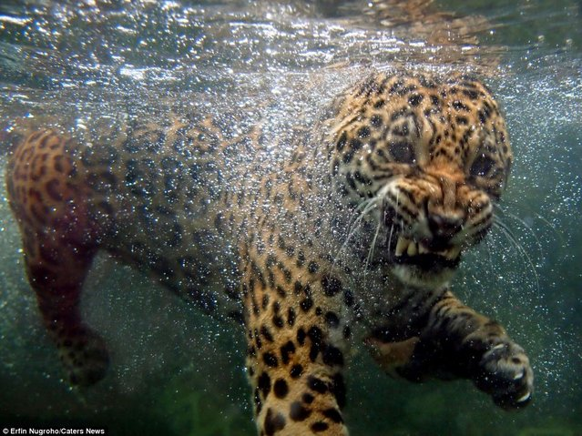 Hungry Rare Jaguar Swims For His Supper