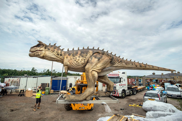 An 8m long animatronic Carnotaurus dinosaur is unpacked from a shipping container in Normanton, Yorkshire on July 17, 2019, after being transported from China, before going on display during the Leeds Jurassic Trail that runs from 26th July to 1st September. (Photo by Danny Lawson/PA Images via Getty Images)