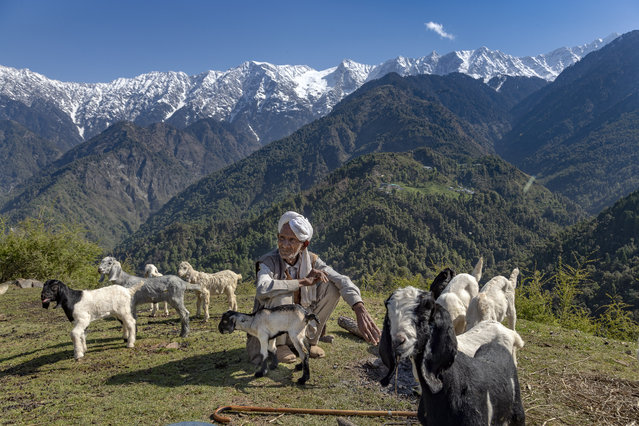 A local Gaddi shepherd sits with his flock at a temporary shelter against a backdrop of the snow-covered Dhauladhar range of the Himalaya in Dharmsala, Himachal Pradesh state, India, Sunday, April 19, 2020. The Gaddis, which remain mobile most of the year taking their flocks to green pastures, are given special passes to move during the lockdown in the state. (Photo by Ashwini Bhatia/AP Photo)