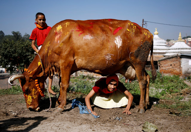 A young Hindu priest attempts to crawl under a cow during a religious ceremony celebrating the Tihar festival, also called Diwali, in Kathmandu, Nepal October 19, 2017. (Photo by Navesh Chitrakar/Reuters)