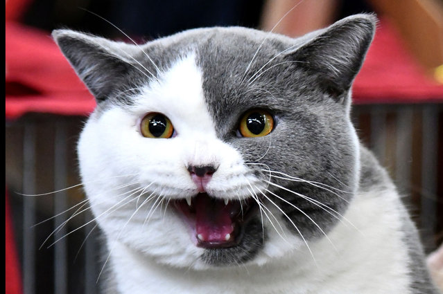 """a British Shorthair cat named Cartier is picturedduring the """"SuperCat Show 2017"""" on November 11, 2017 in Rome, Italy. (Photo by Alberto Pizzoli/AFP Photo)"""