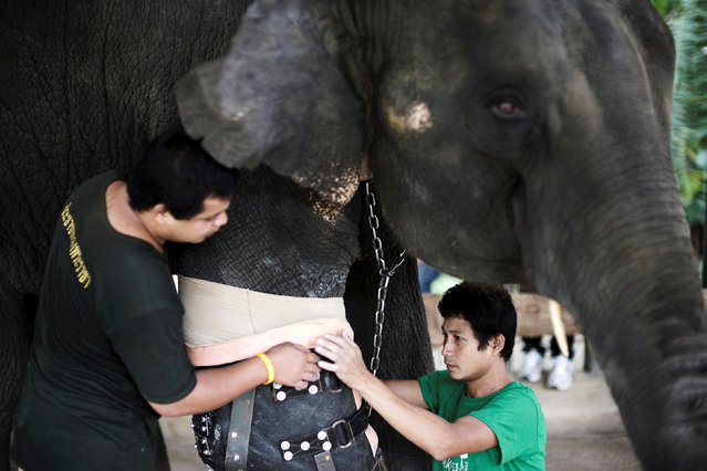 Mosha, the elephant that was injured by a landmine, has her prosthetic leg attached at the Friends of the Asian Elephant Foundation in Lampang, Thailand, June 29, 2016. (Photo by Athit Perawongmetha/Reuters)