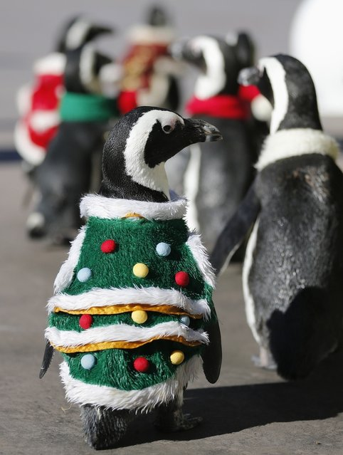 Penguins wearing Christmas-themed outfits waddle around during a holiday event at Hakkeijima Sea Paradise in Tokyo on November 27, 2012. (Photo by Yuriko Nakao/Reuters)