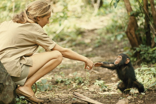 Tanzania, 1964. A touching moment between primatologist and National Geographic grantee Jane Goodall and young chimpanzee Flint at Tanzania's Gombe Stream Reserve. (Photo by Hugo van Lawick