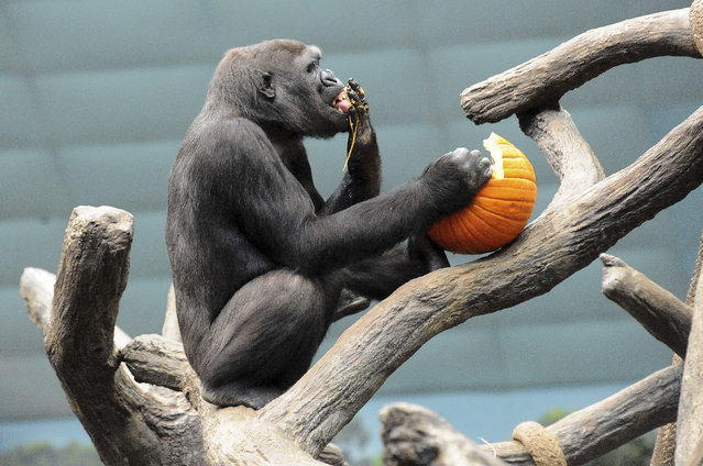 This photo taken Thursday, October 27, 2011 and provided by the Chicago Zoological Society, shows Kamba, a 7-year-old western lowland gorilla, enjoying a Halloween treat at Brookfield Zoo in Brookfield, Ill. (Photo by Jim Schulz/AP Photo/Chicago Zoological Society)