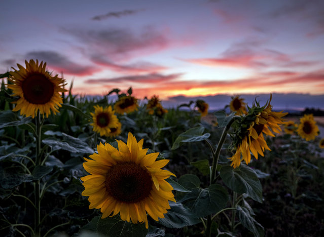 Sunflowers stand in a field in Frankfurt, Germany, after the sun set on Monday, July 20, 2020. (Photo by Michael Probst/AP Photo)