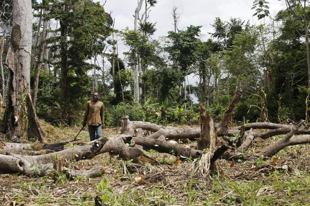 A farmer stands among dead and destroyed trees in the protected Gouin-Debe forest in Blolequin department, western Ivory Coast, August 17, 2015. (Photo by Luc Gnago/Reuters)