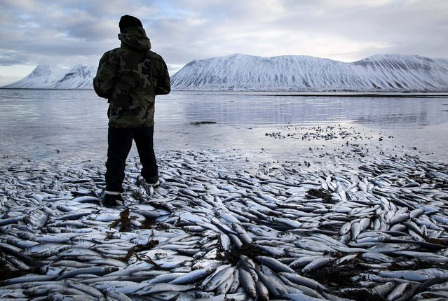 "Herring worth millions in exports float dead in Kolgrafafjordur, a small fjord on the northern part of Snaefellsnes peninsula, west Iceland, for the second time in two months. Between 25,000 and 30,000 tons of fish died in December and more now, due to lack of oxygen in the fjord thought to have been caused by a landfill and bridge constructed across the fjord in December 2004. The current export value of  the estimated 10,000 tons of herring amounts to $ 9.8 million, according to the newspaper ""Morgunbladid"".  (Photo by Brynjar Gauti/Associated Press)"