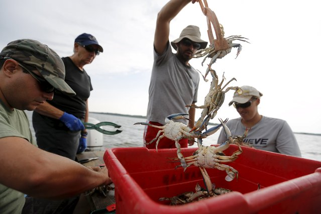 Researchers from the Smithsonian Environmental Research Center (SERC) tag crabs and release them back into the Nanticoke River, a tributary of the Chesapeake Bay, near Tyaskin, Maryland August 25, 2015. (Photo by Jonathan Ernst/Reuters)