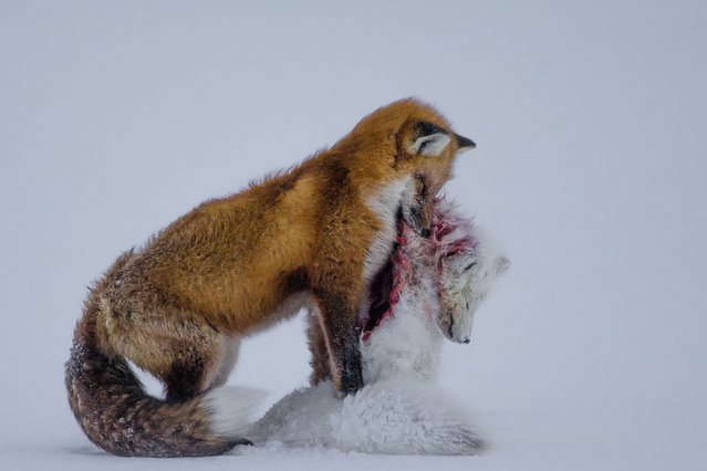 A tale of two foxes. Surprising behaviour, witnessed in Wapusk national park, on Hudson Bay, Canada, in early winter. Red foxes don't actively hunt Arctic foxes, but where the ranges of two predators overlap, there can be conflict. Though the light was poor, the snow-covered tundra provided the backdrop for the moment that the red fox paused with the smaller fox in its mouth in a grim pose. (Photo by Don Gutoski/2015 Wildlife Photographer of the Year)