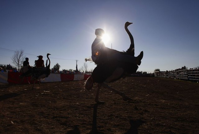 Jessey Sisson rides his ostrich during the ostrich race at the annual Ostrich Festival in Chandler, Arizona March 10, 2013. (Photo by Joshua Lott/Reuters)