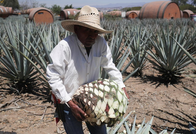 A farmer, also known as jimador, carries a blue agave on a plantation during a media tour at La Cofradia distillery in Tequila, Jalisco, Mexico, March 27, 2021. (Photo by Henry Romero/Reuters)