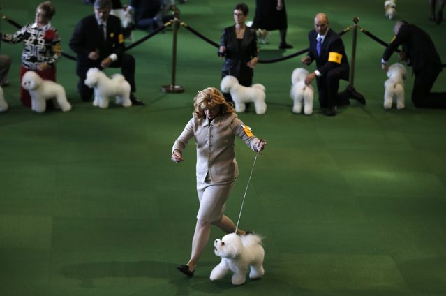 A handler runs a Bichon Frise during competition in the Non-Sporting Group at the 139th Westminster Kennel Club's Dog Show in the Manhattan borough of New York February 16, 2015. (Photo by Mike Segar/Reuters)