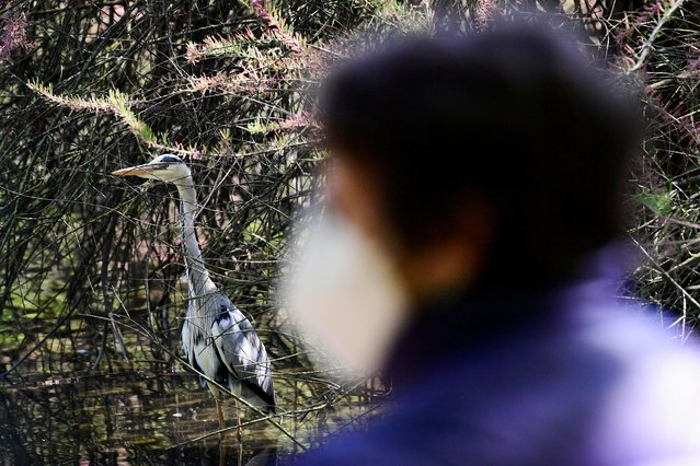A grey heron is seen at the Sempione park, after Lombardy was downgraded from a red to an orange zone, loosening the coronavirus disease (COVID-19) restrictions including allowing non-essential shops to re-open, in Milan, Italy, April 13, 2021. (Photo by Flavio Lo Scalzo/Reuters)