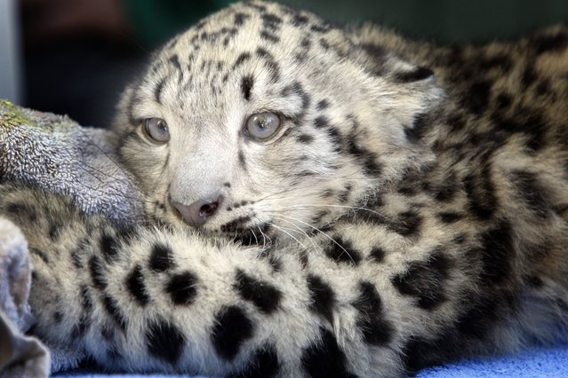 Memphis Zoo lead vet, Felicia Knightly, examines the new baby snow leopard, Taza, on Oktober 13, 2013. (Photo by The Commercial Appeal/Landov)