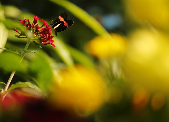 A Postman butterfly lands on a flower as it and hundreds of other butterflies from around the world fill the bird aviary for the next month at the San Diego Zoo Safari Park in San Diego, California March 13, 2015. (Photo by Mike Blake/Reuters)